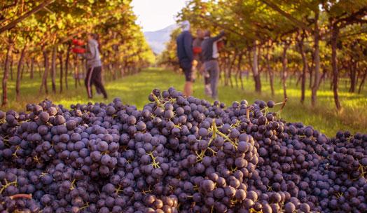 Cantina D'Isera wine producer